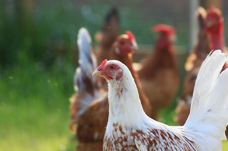 chickens sfw - Metanoia